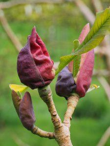 Magnolia offinalis biloba