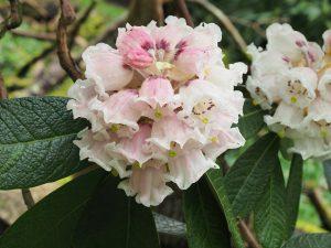 Rhododendron sinogrande seedlings