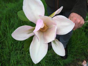 Magnolia 'Kousious'