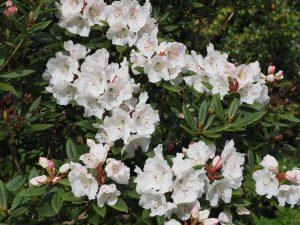 Rhododendron aberconwayi