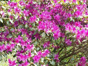 Rhododendron concinnum