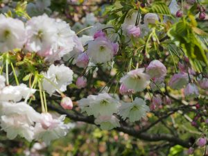 Prunus 'Shogetsu'