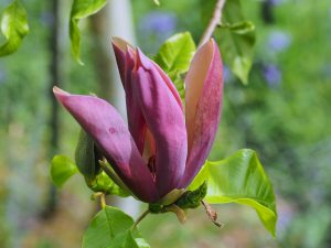 Magnolia x brooklynensis 'Black Beauty'