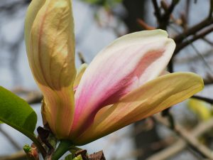 Magnolia x brooklynensis 'Woodsman' x 'Pink Surprise'