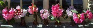 rhododendron hybrids