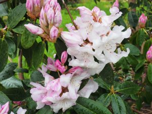 Rhododendron 'Beauty of Littleworth'