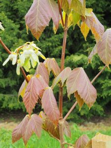Acer sterculiaceum var sterculiaceum