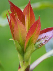 Diplopanax stachyanthus
