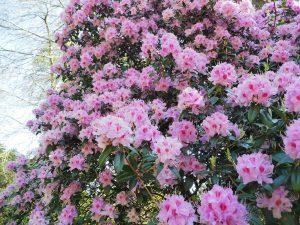 Rhododendron davidsonianum 'Caerhays Pink'