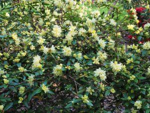 Rhododendron 'Nancor'