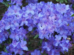 Rhododendron augustinii 'Penheale Blue'