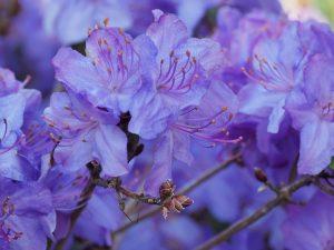 Rhododendron 'Saint Tudy'