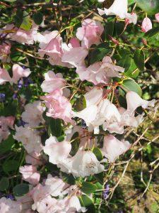 Rhododendron williamsianum x callimorphum