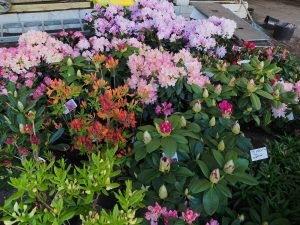 rhododendrons for the stand