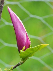 Magnolia 'Raven'