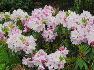 Rhododendron 'Van Nes Sensation'