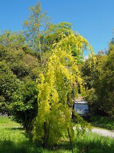 Fagus sylvatica 'Aurea Pendula'