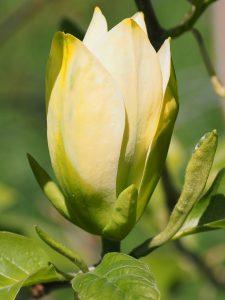 Magnolia 'Ossies Yellow'