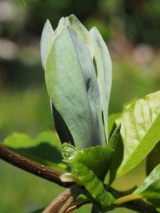 Magnolia x brooklynensis 'Woodsman' x Magnolia 'Patriot'