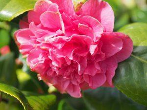 Camellia 'Carolyn Tuttle'