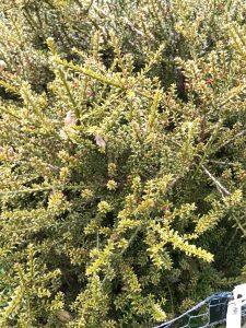 Podocarpus 'Otari'