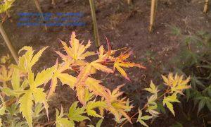 Acer palmatum 'Metamorphosa'
