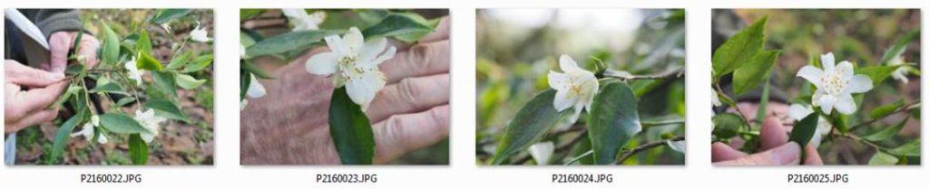 Camellia cuspidata saga