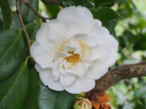 Camellia 'Giant White'