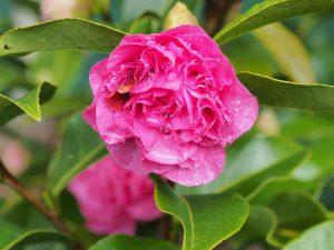 Camellia x willimasii 'Debbie'