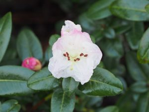 Rhododenron moupinense