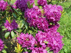 Rhododendron 'Glendoick Velvet'