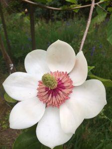 Magnolia x wiesneri