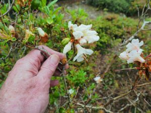 Rhododendron 'Barnaby Sunset'