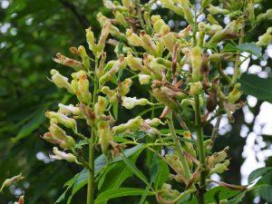 Aesculus x neglecta