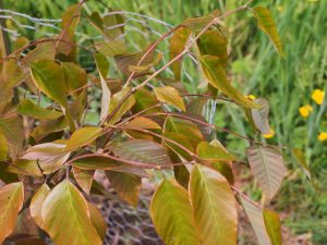 Fagus longipetiolata