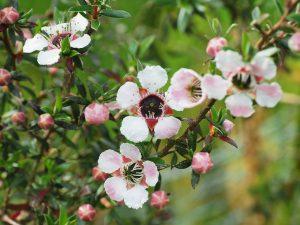 Leptospermum scoparium 'County Park Blush'