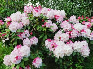 Rhododendron 'Lems Monarch'