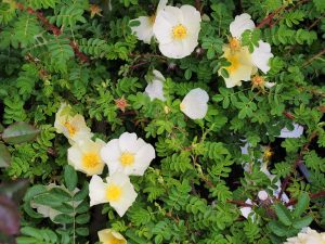 Rosa cantabrigrensis
