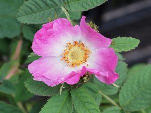 Rosa pomifera