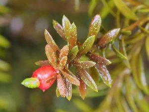 Podocarpus 'Young Rusty'
