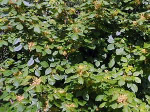 Toxiodendron radicans