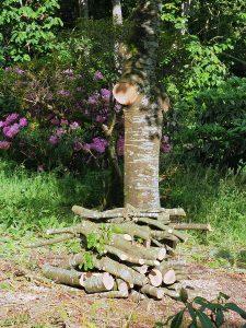 young beech tree
