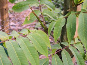 Pterocarya macroptera var insignis