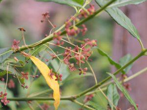 Euonymus porphyreus