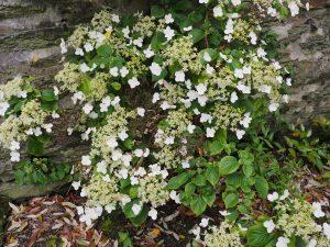Hydrangea anomala ssp. quelpartensis