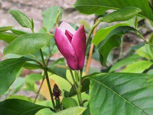 Magnolia 'Purple Prince'