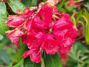 Rhododendron 'Rubicon'