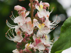 Aesculus wilsonii