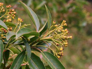 Photinia nitakayensis