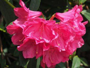 Rhododendron 'Treberrick'?